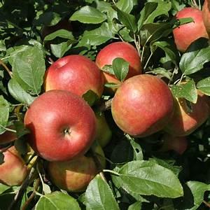Honeycrisp Apple Trees