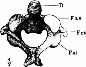 The Axis  2nd Cervical Vertebra