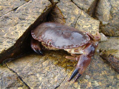 Crabe Dormeur by Tourteau Cancer Pagurus Les Taxinomes