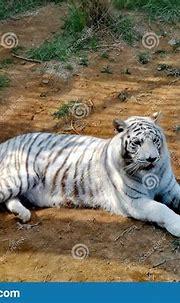 White Tiger @ Jinan Wildlife World, Shandong China Stock ...