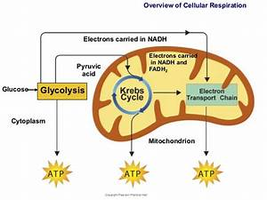 Glycolysis Is The First Stage Of Cellular Respiration  Du