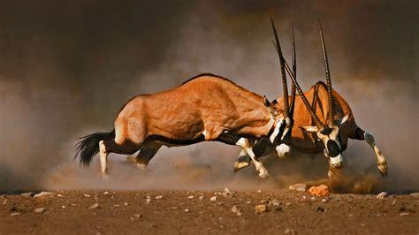 gemsbok fight bing wallpaper