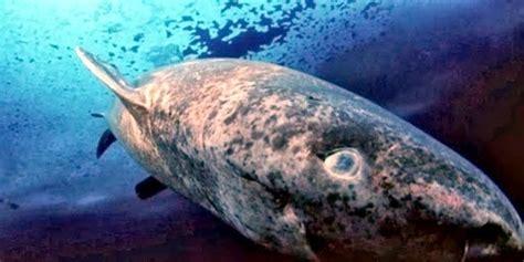 pacific sleeper shark ocean treasures memorial library