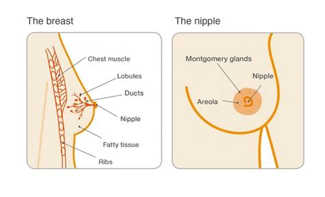 Milk Ducts In Breast Images Duct Ectasia Breast Cancer Care