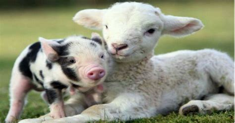 Baby Farm Animals Wallpaper - farm animals backgrounds pictures to pin on