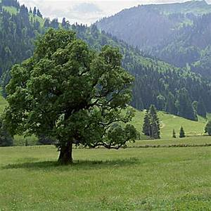 Blaukorn Baum Töten : g ttinnen b ume ahorn goddess ~ Lizthompson.info Haus und Dekorationen