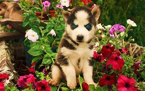 Cute Husky Puppies With Blue Eyes Wallpaper - wallpaper.