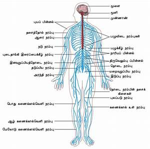 File Nervous System Diagram-ta Svg