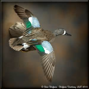 Blue-winged Teal Mounts