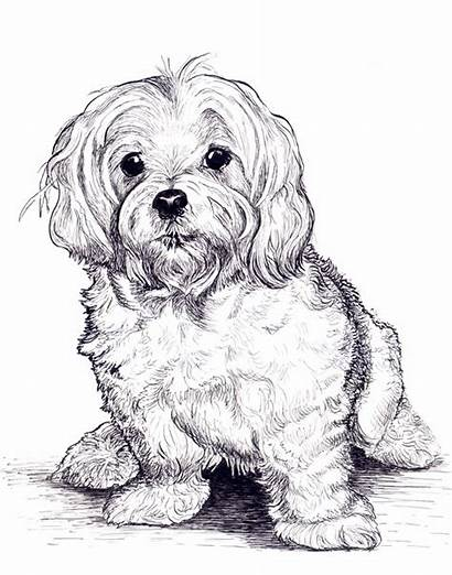 Maltese Drawing Grimes Portraits Pet Newcastlebeach