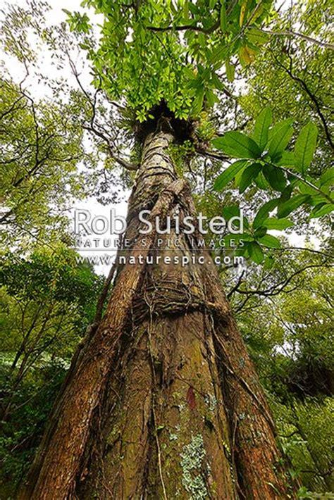 large rimu tree dacrydium cupressinum  forest