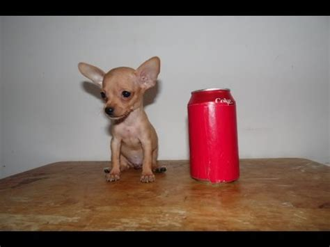 micro teacup chihuahua puppies  sale  youtube