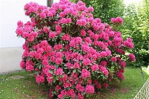 Rhododendron Blüht Nicht : gartentipp rhododendron mit besonderen anspr chen ~ Frokenaadalensverden.com Haus und Dekorationen