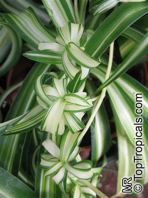 chlorophytum sp spider plant toptropicalscom