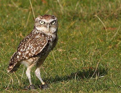 burrowing owl life expectancy