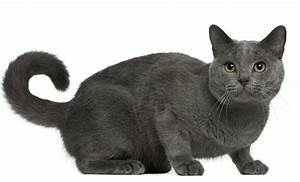 savannah cat chart the chartreux cat cat breeds encyclopedia