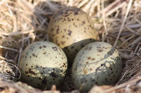 Blue Bird Eggs With Brown Spots