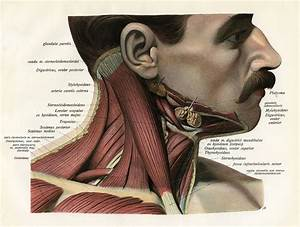 Sternocleidomastoid Muscle  Anatomy And Function
