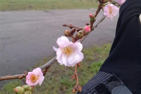 Ziemassvētkos Latvijā uzziedējušas dažādas puķes