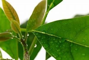 Avocado Pflanze Richtig Schneiden : avocadopflanze schneiden anleitung ~ Lizthompson.info Haus und Dekorationen