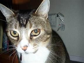 cat spots spots iris melanosis in cats eye cat world