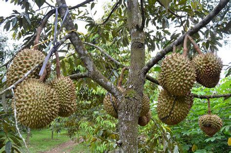 Wisata Kebun Durian Candimulyo: SENTRA KEBUN DURIAN