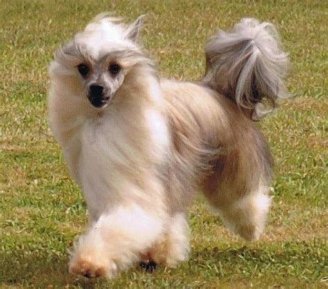 chinese crested powder puff chinese cresteds