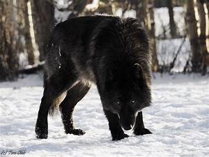 Canis lupus 101: #Wolves of the Day