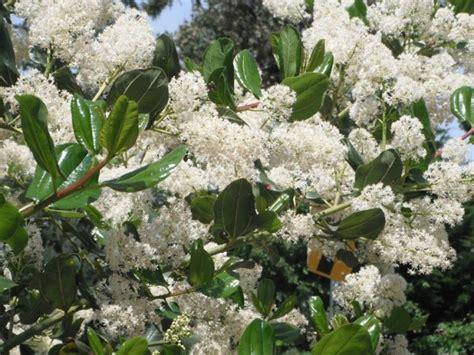 flowering shrubs pacific northwest evergreen shrubs native plants pnw