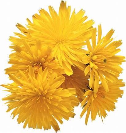 Dandelion Transparent Flowers Resolution Purepng