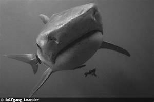 Fins  Mask And A Nikonos  U2013 Old School Shark Photography