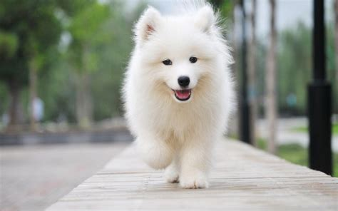 Sweet Baby Samoyed Out For A Stroll Dog Love Dogs