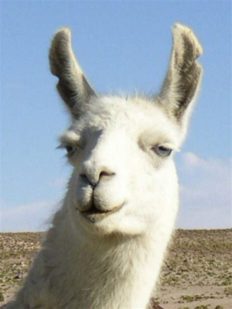 Wonderful Llama Photo by Llama S Opinion Miley Cyrus Needs To Llay Being So