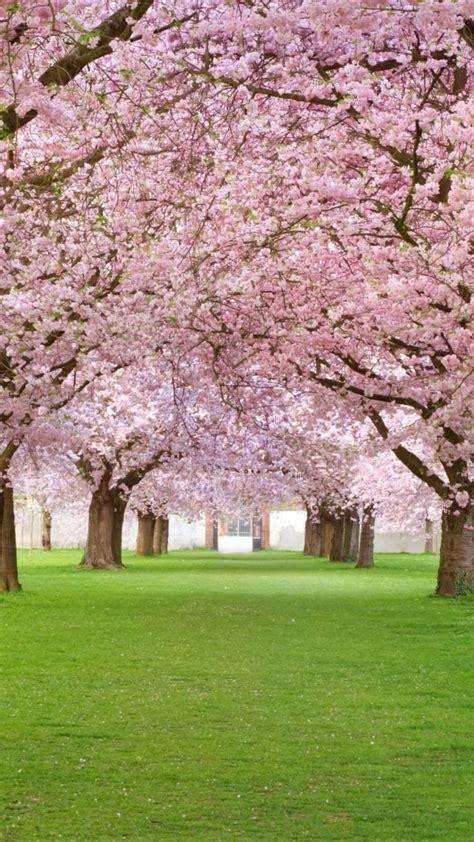 wallpaper trees  hd wallpaper blossom park pink