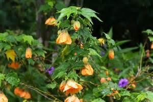 abutilon propagation open gardens constantia