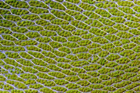 file bryum capillare leaf cells jpg wikipedia