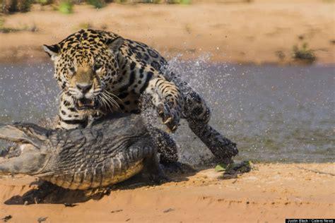 Jaguar Vs Caiman by Jaguar Attacks Caiman In Brazil S Pantanal Wetlands
