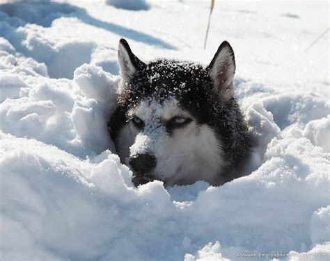 Husky Undercover. Under Snow Cover!