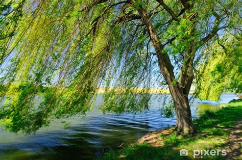 weeping willow   lake wall mural pixers