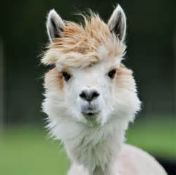 25 Alpacas With The Most Amazing Hair Ever «twistedsifter