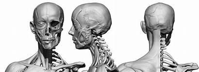 Female Ecorche Reference 3d Anatomy 360 Anatomy360