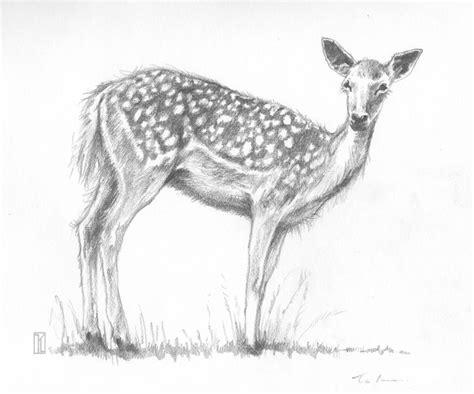 pencil drawing  deer animal pencil drawing  deer