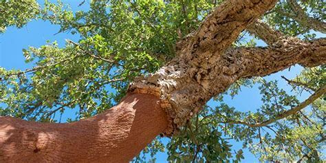 Everything to know about Cork Oak in Portugal   HPB