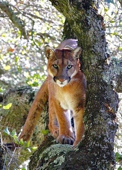mountain lion sightings reported  golden gate park