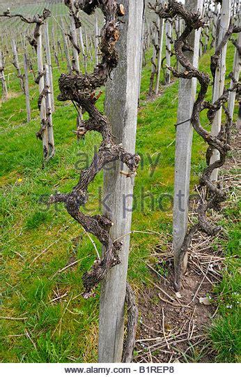 pruning grape vines fall prune grape vine stock photos prune grape vine stock images alamy