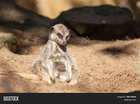 animal depressed bad work funny meme lonely meerkat