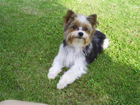 pin biewer yorkshire terrier huendin  hannover brink
