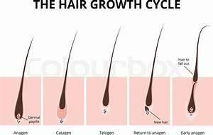 Hair Growth Phase  Anatomy Diagram Of Human Hair