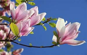 Fleur De Magnolia : le magnolia d voile ses secrets le mag de flora ~ Melissatoandfro.com Idées de Décoration