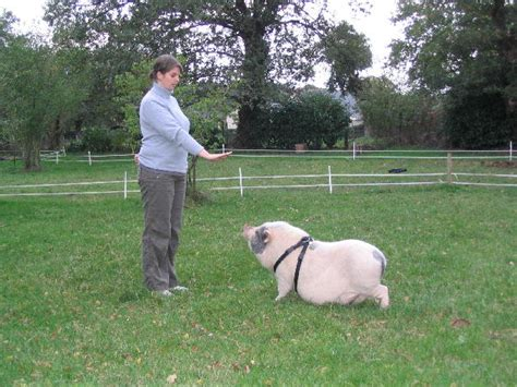 comment cuisiner un cochon guide de poche du cochon nain